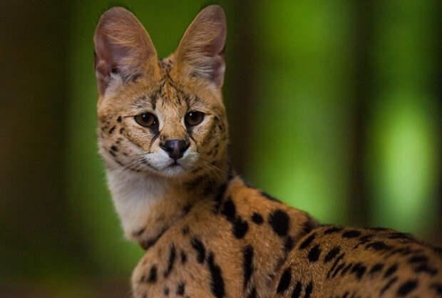 Сервал дикие кошки, животные, кошки, природа