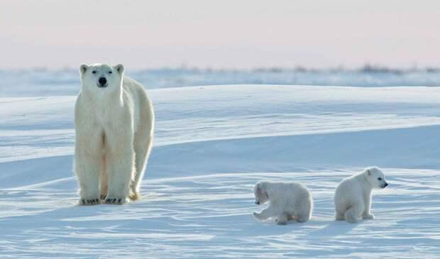 Медвежата белого медведя