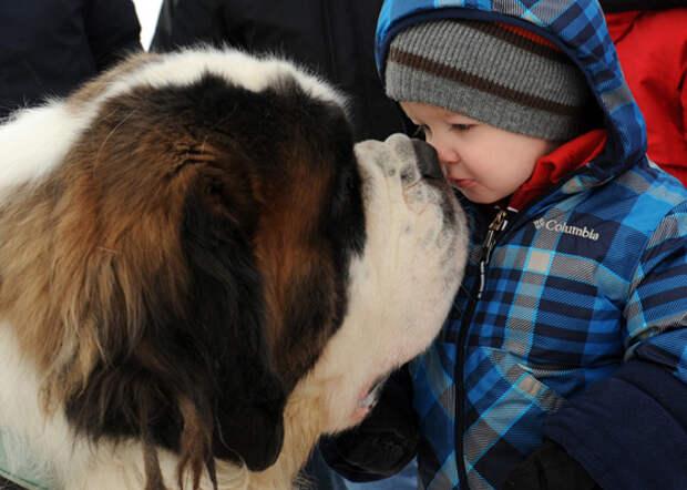 Самая большая порода собак - Сенбернар