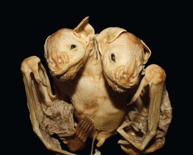 Опубликованы фото двухголовой летучей мыши