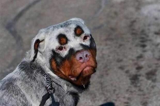Не такие, как все! 20 чудесных собак с необыкновенным окрасом шерсти :)