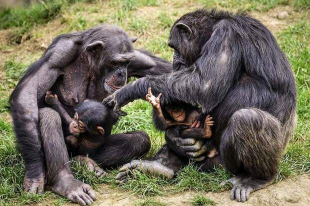 Обыкновенные шимпанзе (Pan troglodytes), фото приматы фотография