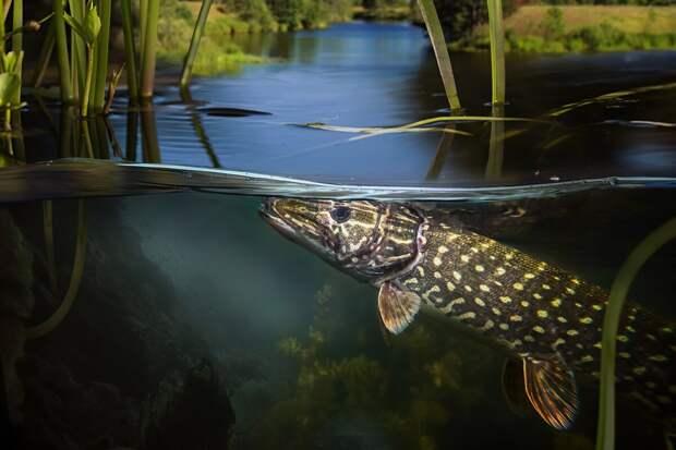 Щука — хищница пресных вод: 6 интересных фактов о «санитаре рек»
