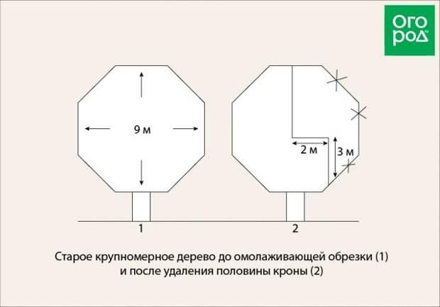 Схема обрезки яблони