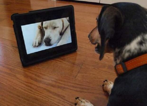 Ученые выяснили, зачем собаки смотрят телевизор