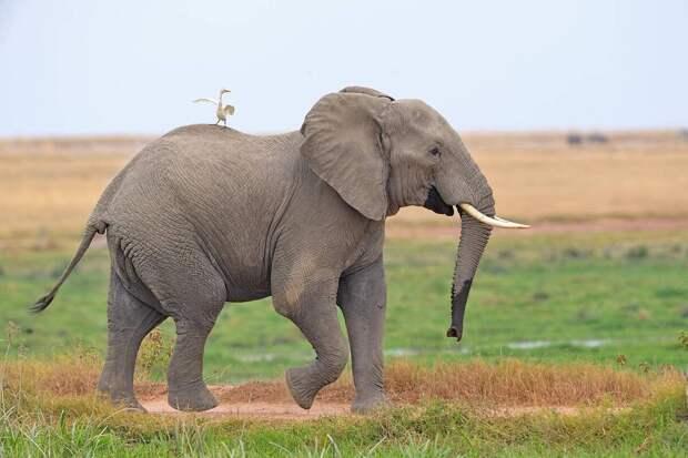 Большая цапля едет на слоне в национальном парке Амбосели, Кения