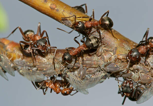 С муравьями борюсь гремучей смесью