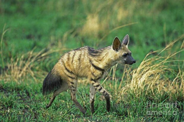 Зверушка как игрушка: африканский земляной волчок