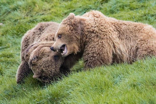 Медведиц застрелили в Великобритании после побега из вольера