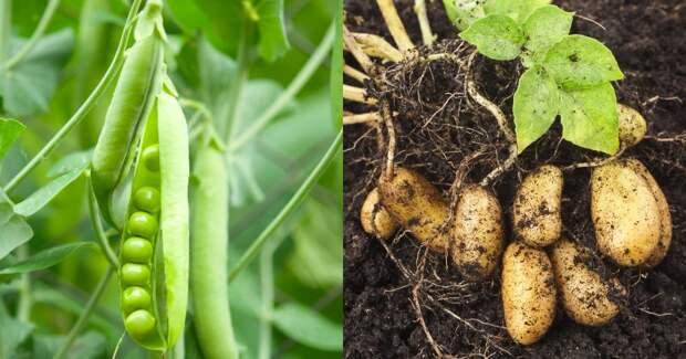 смешанные посадки овощей и цветов