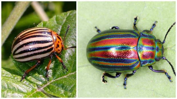 А знаменитый колорадский? Он бывает разных цветов, а не только тех, что мы привыкли видеть. жуки, интересное, красивое, насекомые