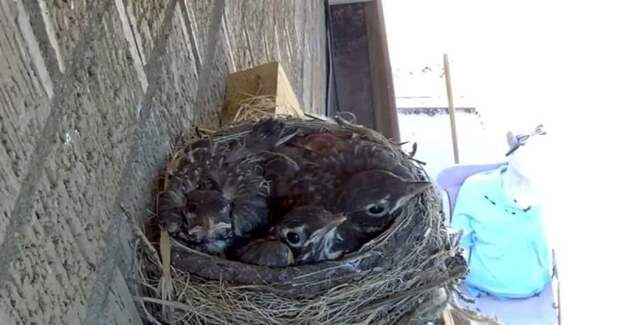 Во время прямой трансляция ястреб похитил птенцов зарянки из гнезда видео, гнездо, животные, зарянка, камера, птенец, птенцы, ястреб
