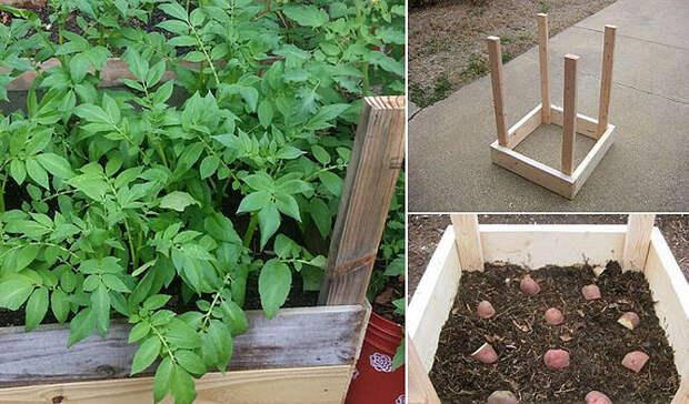 Высаживаем картошку в деревянные ящики, а потом снимаем с каждого куста по ведру