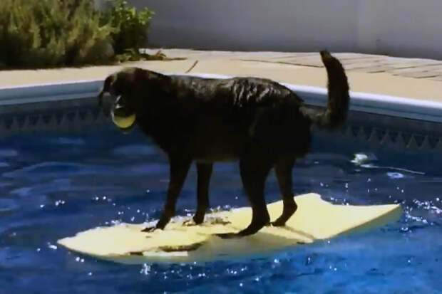 Играя, собака упустила мячик в бассейн... Забавное видео