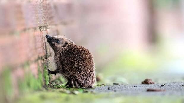 Иглы ежа - защита его маленького хвостика