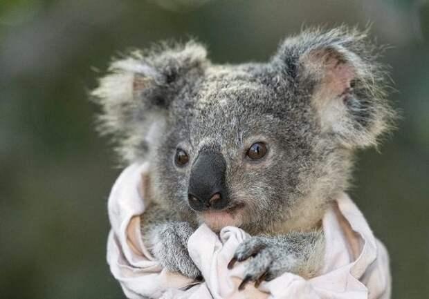 Неожиданные факты о коалах