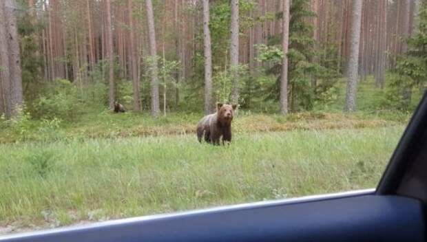 «Российские агрессоры» в Прибалтике: в эстонскую Валгу проникло двое медвежат из Пскова