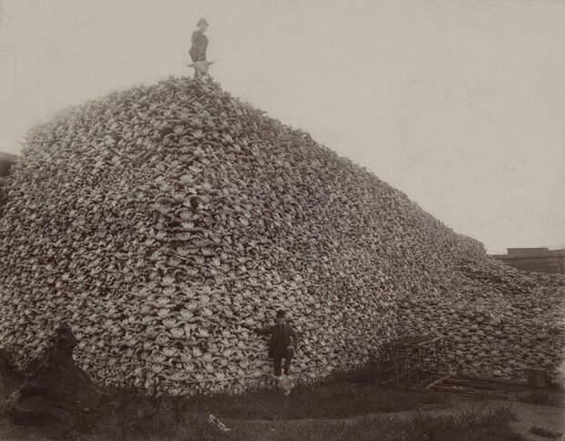 Бизонов уничтожали миллионами америка, дикий запад, интересное, факты