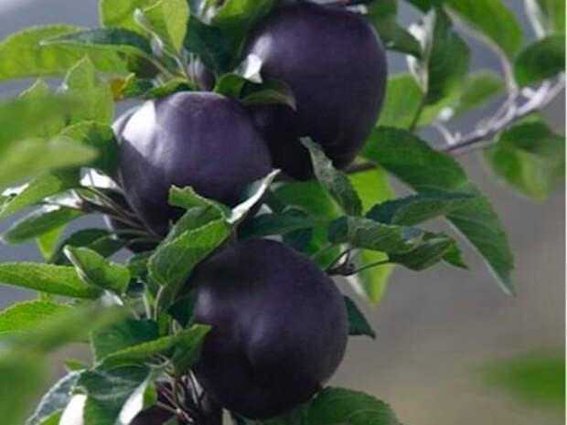 Чёрные яблоки являются настолько редкими, что купить их можно далеко не везде Еда, Путешествия, Тибет, Длиннопост