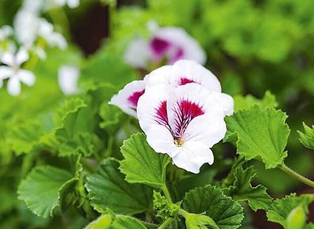 Пеларгония, табак и еще 8 эффектных растений, которые украсят сад