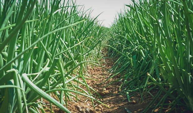 Тюменским садоводам рассказали оправилах выбора посадочного лука ичеснока