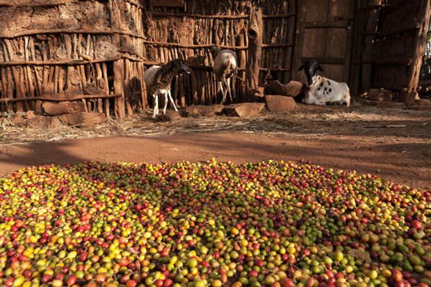 За кофе следует благодарить коз интересно, история, кофе, напитки, познавательно, полезные растения, удивительное рядом, факты