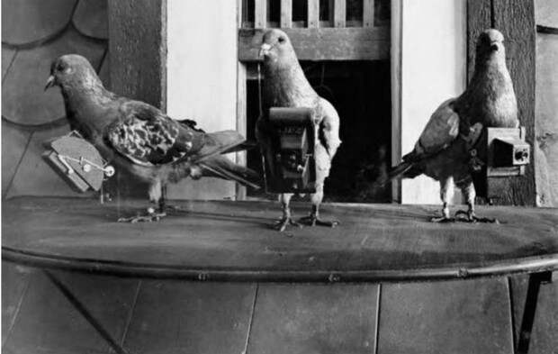 Фото №3 - 8 неожиданных фактов о голубях