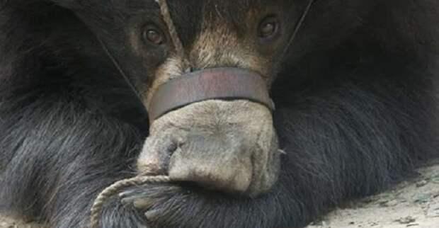 Медведь буквально «танцевал» от боли, когда его морду стягивала веревка
