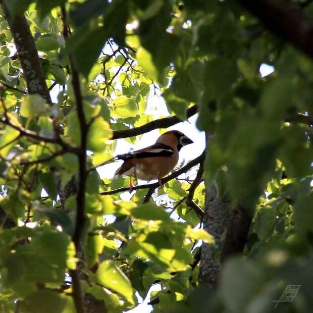 В Покровском-Стрешневе поймали в кадр красавца дубоноса