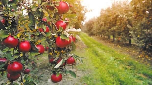 """В Америке во времена """"сухого закона"""" массово вырубали яблоневые сады"""
