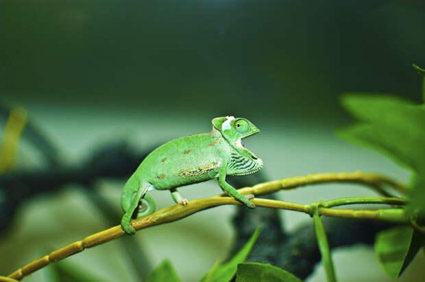cute-baby-chameleons-5830b9c1ac679__700