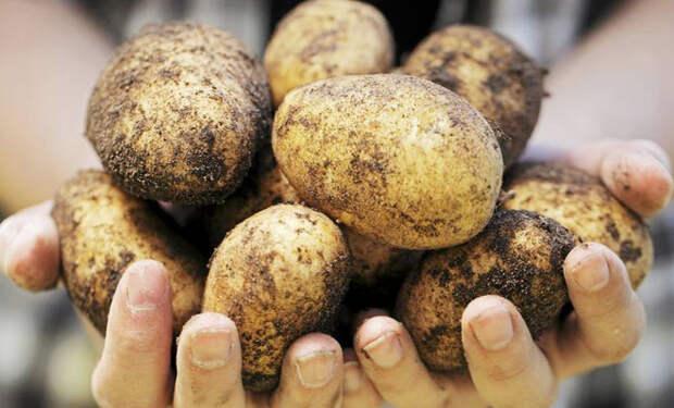 Сохраняем картошку до весны: лежит всю зиму и не портится