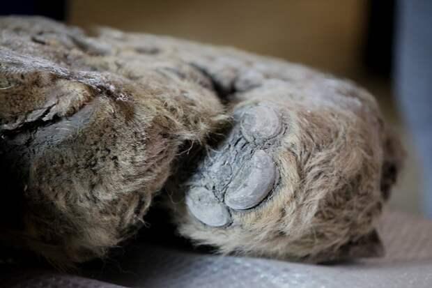 В Якутии нашли останки единственного в мире детеныша шерстистого носорога