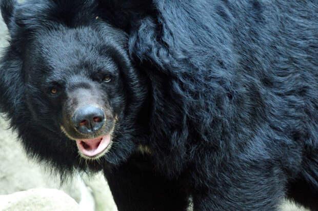 Гималайский медведь животные, красная книга, редкие животные, россия