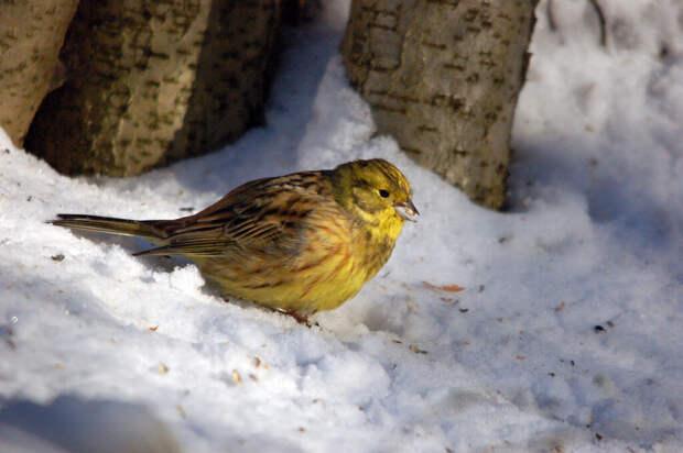 Почему птица овсянка так называется?