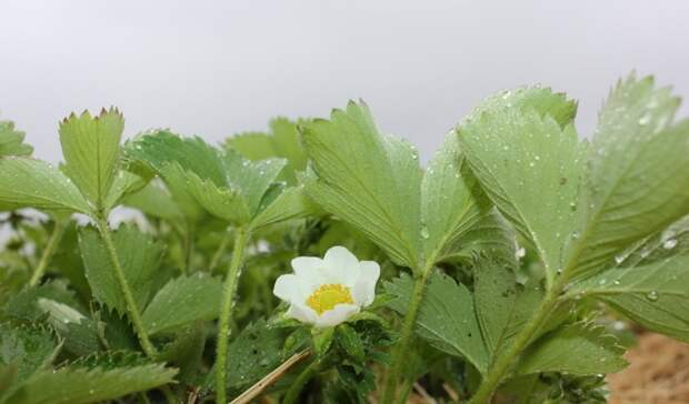 На Ставрополье дали прогноз на урожай клубники