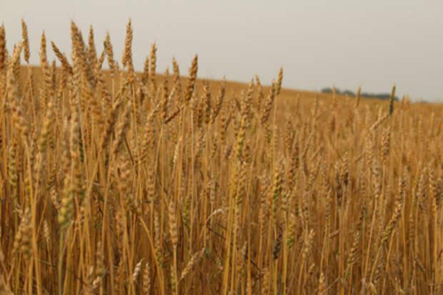 Экспорт пшеницы из РФ в 2021-22 сельхозгоду может стать вторым в истории - Минсельхоз США