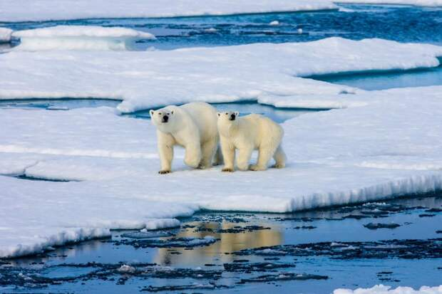 ВАрктике пересчитают белых медведей: Новости ➕1, 12.05.2021