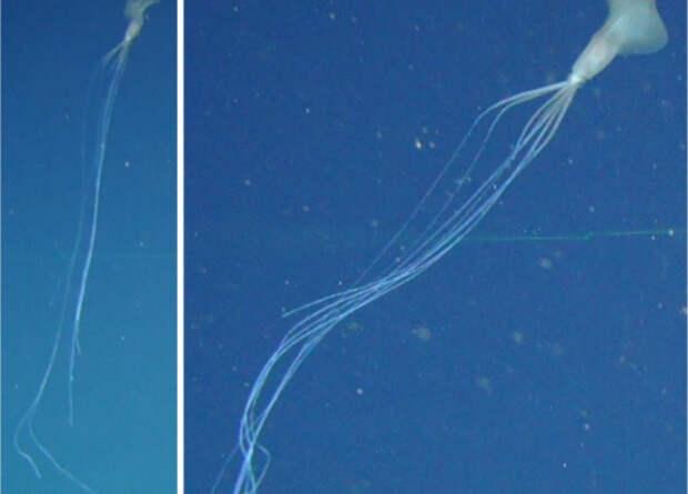 В австралийских водах впервые заметили глубоководных длинноруких кальмаров