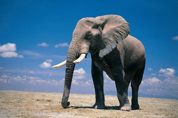 Самые интересные факты о слонах. Уверен, вы многое даже не знали