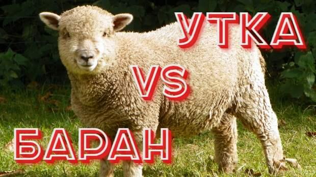 Баран vs Утка