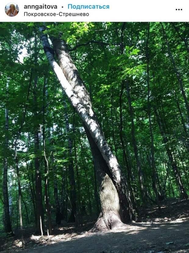 Фото дня: влюбленные деревья в парке «Покровское-Стрешнево»