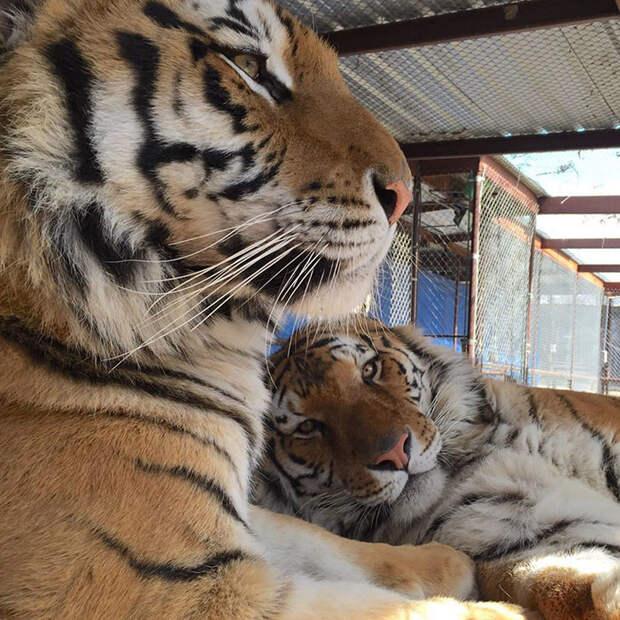 Изможденного тигренка спасли из цирка. Преображение! животные, спасение