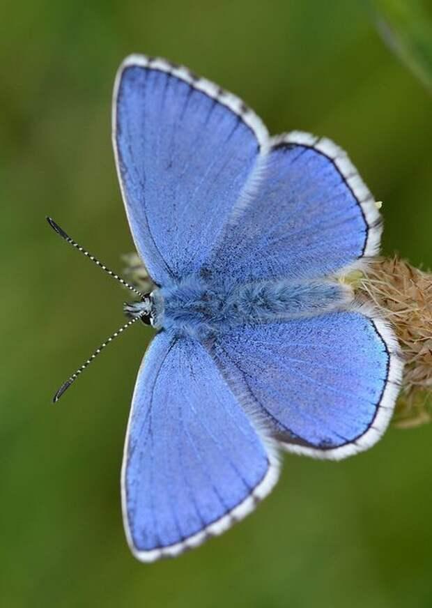 Бабочке могут потреблять пищи в 2 раза больше собсвенного веса бабочки, интересное, красота, насекомые