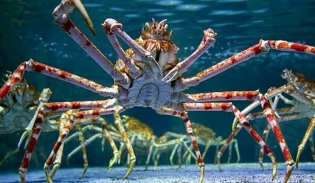Японский краб-паук в аквариуме.