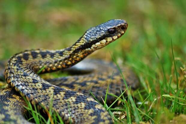Что делать, если встретился с ядовитой змеёй