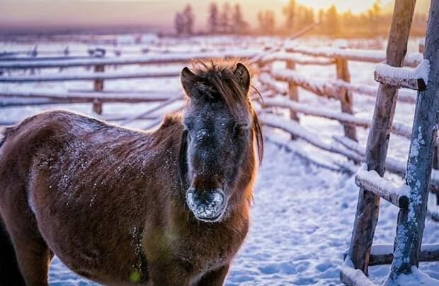 Для народа саха якутская лошадь - средство передвижения, молоко и мясо, теплая одежда Порода, животные, лошадь, россия, саха, фото, якут, якутия