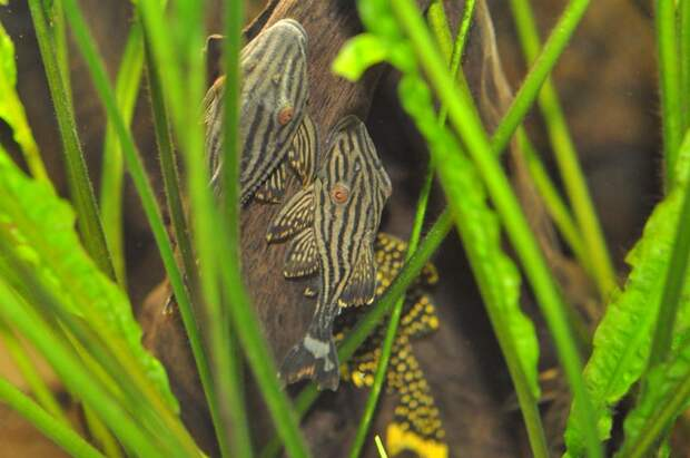 Королевский панак — зверь-рыба, которая питается древесиной