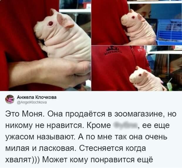 В Тульском зоомагазине нашлась морская свинка, которая разбила сердечки всего Твиттера в мире, животные, зоомагазин, люди, милота, морская свинка, реакция