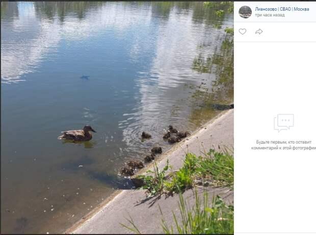 Фотокадр: на Алтуфьевском пруду вывелись утята
